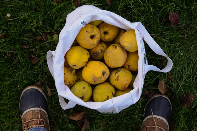bag of quince by Camille Storch