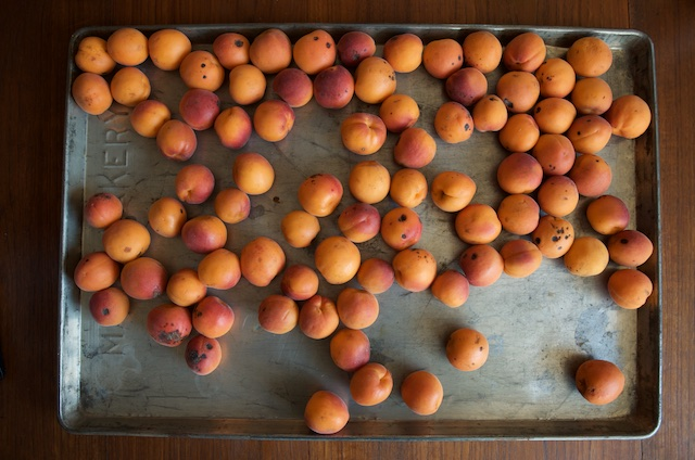 Apricots spread out to ripen on an old sheet tray