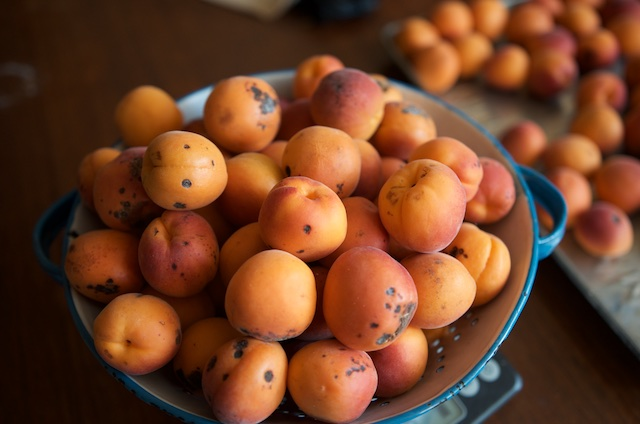 Pockmarked and scarred apricots in an old blue and white colander