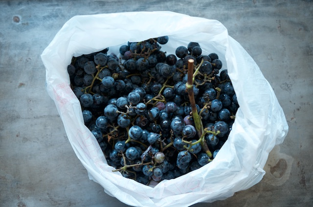 Concord grapes for Concord grape jelly