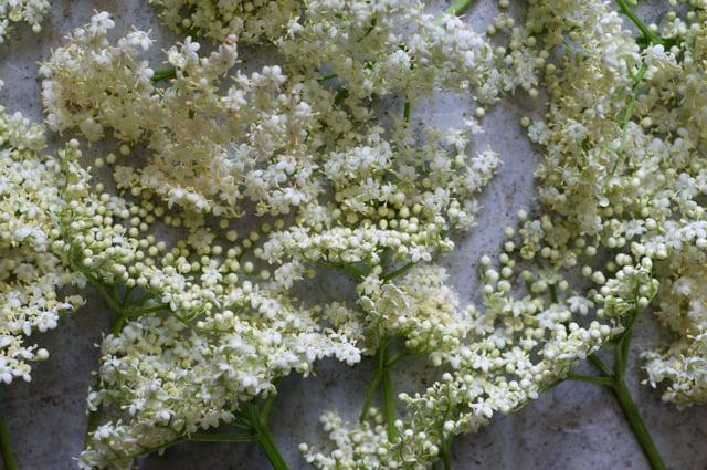 Freshly picked elderflowers for elderflower cordial