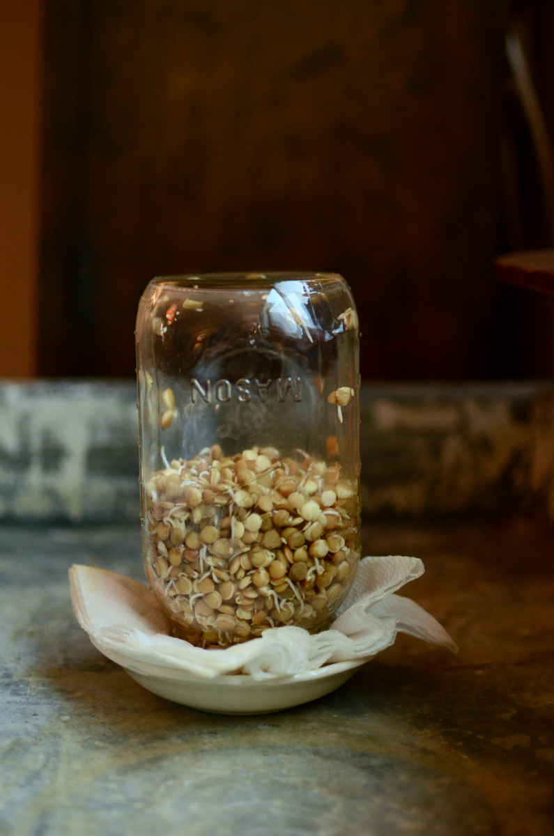 An upside down quart jar, half full with sprouting lentils