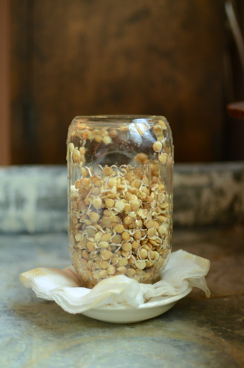 An upside down quart jar, three quarters full with sprouting lentils